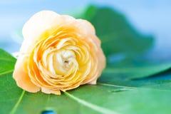Orange Ranunculus Stockfotografie