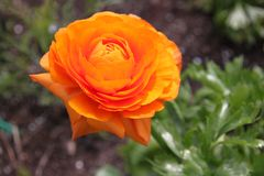Orange Ranunculus asiaticus Blume stockbilder