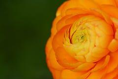 Orange ranunculus flower Stock Image