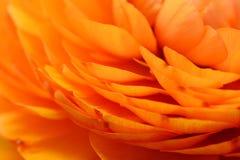 Orange ranunculus petals Royalty Free Stock Photo