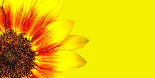 Free Orange, Red And Yellow Flame Sunflower Macro Photo With Stunning Intense Bright Colours Against Intense Bright Yellow Background Royalty Free Stock Image - 122939156
