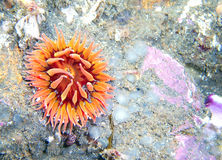 Orange and Red Anemone. On reef found off of central California's Channel Islands Royalty Free Stock Photography