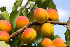 Orange/Red Apricots on Tree Branch Royalty Free Stock Photos