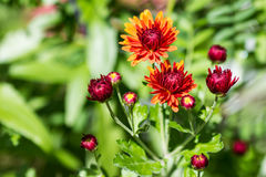 Orange and Red Autumn Mums Stock Photography