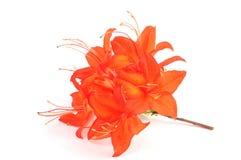 Orange red azalea flowerheads on white  background. Stock Photo