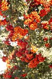 Orange/Red berries in clusters. Clusters of red berries that appear orange in sunlight. Tight shot that blurs out of focus royalty free stock photos