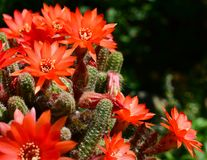 Orange Red Blooming Cactus. Blooming flowers of Peanut Cactus, Echinopsis chamaecereus, in vibrant orange-red flowers. He is a branched cactus with many crowded stock photos