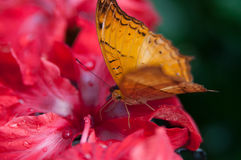 Orange On Red. Orange butterfly on hibiscus in the morning Stock Image