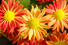 Orange and red chrysanthemum flowers in garden Royalty Free Stock Image