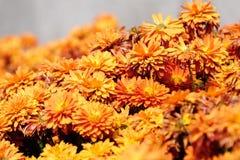 Orange red chrysanthemum Stock Images