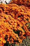 Orange red chrysanthemum. In Nanjing Agricultural University Lake cooked flower base Royalty Free Stock Photos