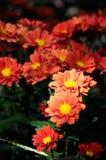 Orange red chrysanthemum. In Nanjing Agricultural University Lake cooked flower base Stock Photo