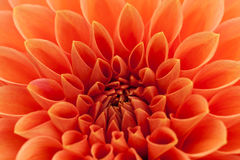 Orange, red dahlia Stock Photography