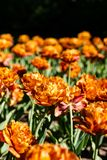 Double tulips blossoming in garden. Orange-red double layered tulip flowers in a flowerbed in the afternoon sun Stock Images