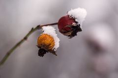 Orange and red dry rose hips in the snow,. Orange and red dry rose hips in the snow stock images