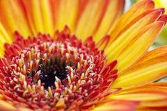 orange red för tät tusensköna upp Arkivfoton