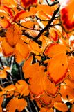 Orange and red fall leaves. Still on the tree and almost ready to fall Stock Image