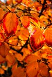 Orange and red fall leaves. Still on the tree and almost ready to fall Royalty Free Stock Image