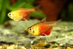Orange Red Flame Tetra Hyphessobrycon flammeus Rio tetra tropical aquarium fish. Fish Stock Photography