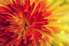 Orange-red flower. Bright orange-red flower close up Royalty Free Stock Photography