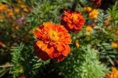 Orange and red flowerheads of Tagetes patula. Orange and red flower heads of Tagetes patula royalty free stock image