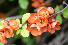 Orange-Red flowering Quince Royalty Free Stock Image