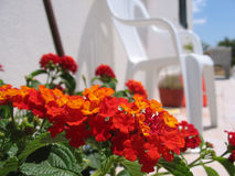 Orange red flowers. In front of a house Royalty Free Stock Image