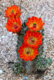 Brightly blooming cactus. Orange red flowers on a hedgehog or claret cup cactus (echinocereus   triglochidiatus) in a desert landscape in Texas Stock Photos