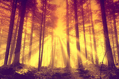 Orange red forest with sunbeams Royalty Free Stock Photography