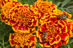 Orange and red French marigold. Or Tagetes patula with hoverflies in summer Stock Photos