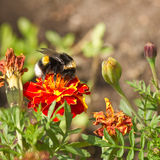 Orange and red French marigold. Or Tagetes patula with bumble bee and dried flowers in summer - square Stock Photos