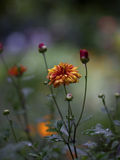 Orange and red garden flower Royalty Free Stock Photo