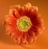 Orange red gerbera flower Royalty Free Stock Image