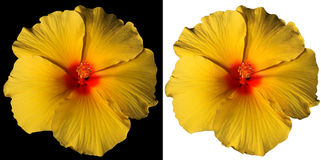 Orange and Red Hibiscus Flower Isolated Stock Photos