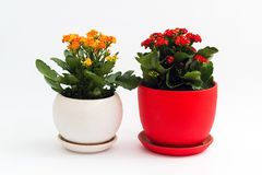 Orange and red kalanchoe in a pot on light background Royalty Free Stock Images