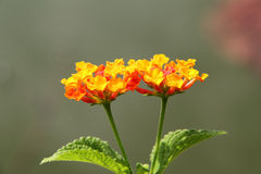 Orange red lantana flower Stock Photography
