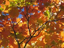 Orange And Red Leaves Royalty Free Stock Photography