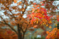 Orange red leaves maple tree in autumn Royalty Free Stock Photo