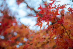 Orange red leaves maple tree in autumn Stock Photography