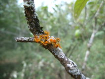 Orange-red lichen on tree branch in Swaziland. Orange-red lichen on a tree branch in Swaziland royalty free stock photos