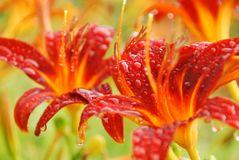 Orange-red lilies in the rain stock image