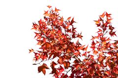 Orange Red Maple Leaf and branch isolate on white background Royalty Free Stock Photography