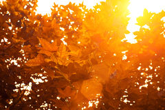 Orange and red maple leaf on the tree Stock Photos