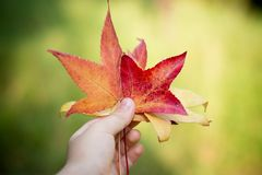 Orange and red maple leaves in hand