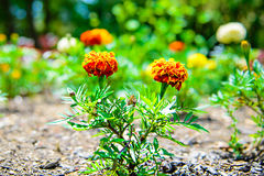 Orange Red Marigold Flowers in Garden Royalty Free Stock Photo