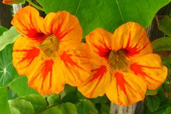 orange-and-red nasturtiums Royalty Free Stock Photo