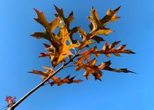 Orange and red oak leaves against a bright blue sky in autumn. Fall photo of oak tree limb with autumn royalty free stock image