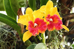 Orange and Red Orchid Royalty Free Stock Photos