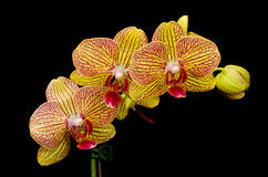 Orange and Red Phalaenopsis Orchid Stock Photography