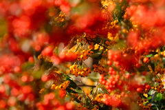 Orange And Red Pyracantha Berries Stock Photo